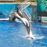 Orca in flight