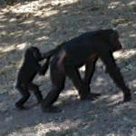 Chimpanzees in Gombe Stream National Park (StreetView)