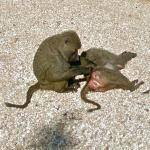 Olive Baboons Grooming on the Beach