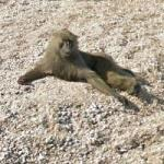 Olive Baboons Lounging on the Beach