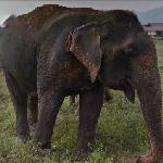 Asian elephant (StreetView)