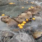 Capybaras enjoy a hot bath