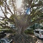 Beautiful Mysore Fig (StreetView)