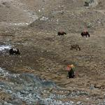 Domestic yaks (StreetView)