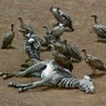 Vultures on a Zebra Carcass