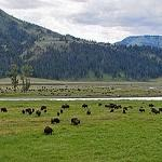 Oh, give me a home where the Buffalo roam.