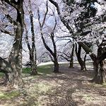Cherry blossoms at Kinuta Park (StreetView)