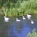 Swan family in the River Avon