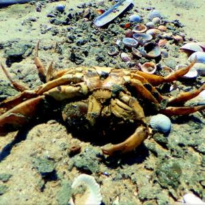 Dead crab on the beach (StreetView)