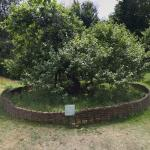 Sir Isaac Newton's apple tree