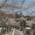 Sakura (Cherry blossom) alley
