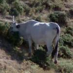 An ox (StreetView)