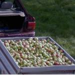 Apple Picking (StreetView)