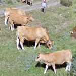 Cows (StreetView)