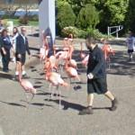 Flamingos on sidewalk