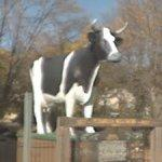 Antoinette the Cow (StreetView)