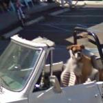 Dog driving car