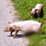 Pigs (StreetView)
