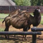 Bactrian Camel (StreetView)