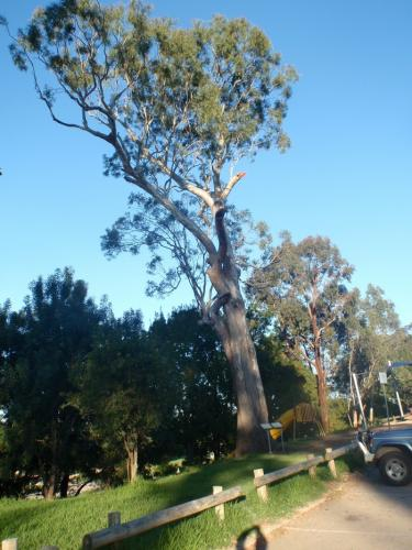 Scarred Tree Bairnsdale