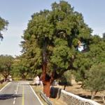 Cork Oak Trees (StreetView)