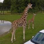 Giraffe mom and baby giraffe (StreetView)
