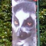Lemur (StreetView)