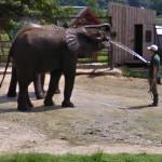 Elephant getting a drink (StreetView)