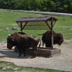 Bison (StreetView)
