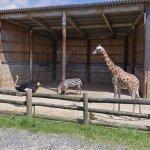 Giraffe, Zebra, & Ostrich