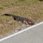Dead Crocodile