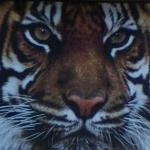 Bengal Tiger (StreetView)