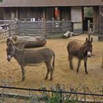 Donkeys (StreetView)