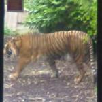 Sumatran Tiger (StreetView)