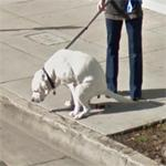 Defecating dog (StreetView)