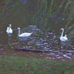 Swans (StreetView)