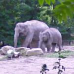 Elephant with calf (StreetView)