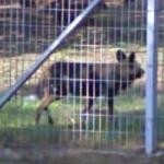African wild dog (StreetView)