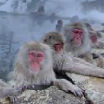 Monkeys in Jigokudani Monkey Park