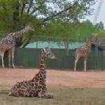 Giraffes (StreetView)