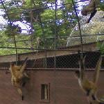 Spider monkey (StreetView)