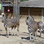 Zebras (StreetView)