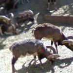 Mouflon (StreetView)