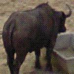 Cape buffalo (StreetView)