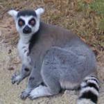 Ring-tailed lemur (StreetView)