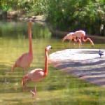 Flamingos (StreetView)