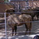 European bison (StreetView)