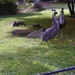 Emu (StreetView)