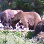 Brown Bear (StreetView)