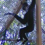 Gibbon (StreetView)
